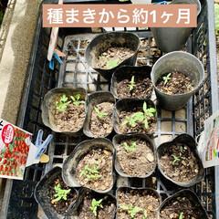 ラベンダー/センニチコウ/トマト🍅/園芸/栽培/種まき/... 4月13日に種まきして約1ヶ月ちかくが経…(3枚目)