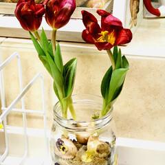 癒し/インテリア/鉢植えから水栽培へ/水栽培/チューリップ🌷/観葉植物 ミニチューリップ🌷ちゃん 鉢植えで買って…(7枚目)