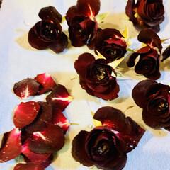 小薔薇🌹/シリカゲルドライフラワー 一週間シリカゲルに寝かせた小薔薇🌹です。…(3枚目)