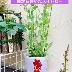 インテリア/スイトピー/植物/手作り/デコパージュ/リメ鉢/... 数日前の強風でスイトピーが倒れて鉢が割れ…