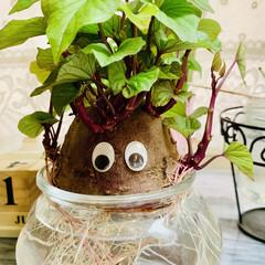 さつま芋🍠/水栽培/お家でもオシャレ 🌱水栽培🌱  さつま芋🍠のポテっちくん …(3枚目)