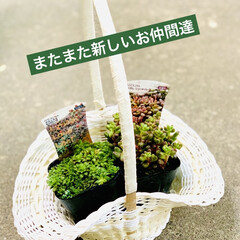 紙ナプキン/大型ホームセンター/花カゴ/多肉植物 今日は大好きな 大型ホームセンターへ行っ…(2枚目)