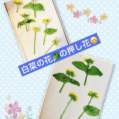 芝桜/ノースポール/パンジー/ビオラ/白菜の花/葉牡丹の花/... 今日は、 葉牡丹の花と庭に植えてる白菜の…(2枚目)