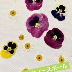 芝桜/ノースポール/パンジー/ビオラ/白菜の花/葉牡丹の花/... 今日は、 葉牡丹の花と庭に植えてる白菜の…(5枚目)
