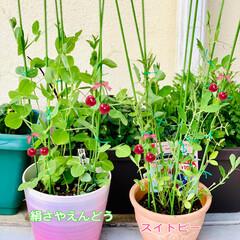 そっくりさん/植物/種まき/スイトピー/絹さやえんどう 種蒔きから順調に成長しているスイトピー🌸…
