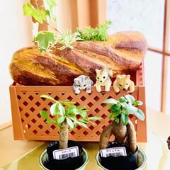 紙粘土/オブジェ/造形モルタル/¥100均/インテリア/ハウス寄せ植え/... 和室に観葉植物を集合してから すくすく元…(1枚目)