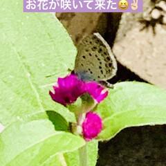 咲いて来た/センニチコウ/種蒔きからの栽培/ダイソー good morning🌱  朝から猛暑…(3枚目)