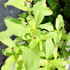 咲いて来た/センニチコウ/種蒔きからの栽培/ダイソー good morning🌱  朝から猛暑…(5枚目)