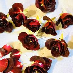 小薔薇🌹/シリカゲルドライフラワー 一週間シリカゲルに寝かせた小薔薇🌹です。…(5枚目)