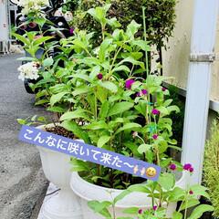 ガーデニング/センニチコウ/種蒔きからの栽培/インテリア/プチプラ/インテリア術/... ダイソーさんの2袋¥100の センニチコ…(4枚目)