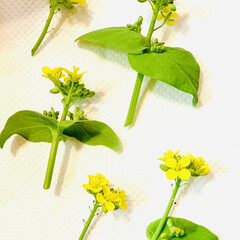 芝桜/ノースポール/パンジー/ビオラ/白菜の花/葉牡丹の花/... 今日は、 葉牡丹の花と庭に植えてる白菜の…(7枚目)