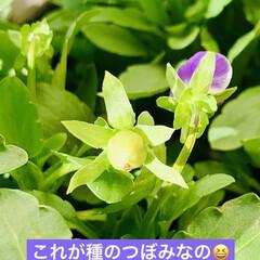 園芸/ビオラ ほらほら❣️ 見て〜🖐🏻見て〜🖐🏻  種…