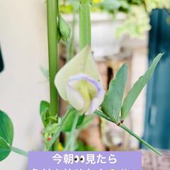 開花/スイトピー/種蒔きからの栽培 昨日、種蒔きからの スイトピーのお花がや…(1枚目)