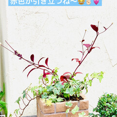 やっと見つけた/植物/苗木/アルナンテラレッドフラッシュ/アカバセンニチコウ 赤いセンニチコウ 👀み〜つけた🤣🤣🤣🙌🏻…(6枚目)