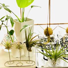 モンステラ/エアプランツ/アボガド水栽培/ダイソー/観葉植物 ダイソーさんでワイヤー歯ブラシ立てと ず…(2枚目)