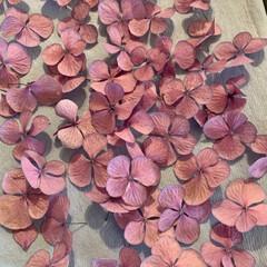 ドライフラワー/紫陽花 6月13日に初めて紫陽花の花をシリカゲル…