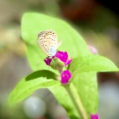咲いて来た/センニチコウ/種蒔きからの栽培/ダイソー good morning🌱  朝から猛暑…(1枚目)