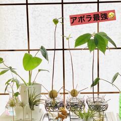 モンステラ/エアプランツ/アボガド水栽培/ダイソー/観葉植物 ダイソーさんでワイヤー歯ブラシ立てと ず…(5枚目)