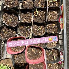 ラベンダー/センニチコウ/トマト🍅/園芸/栽培/種まき/... 4月13日に種まきして約1ヶ月ちかくが経…(4枚目)