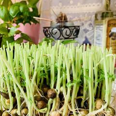 水栽培/豆苗/お家でもオシャレ 今夜使った豆苗を 水栽培してみることにし…