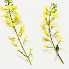 芝桜/ノースポール/パンジー/ビオラ/白菜の花/葉牡丹の花/... 今日は、 葉牡丹の花と庭に植えてる白菜の…(6枚目)