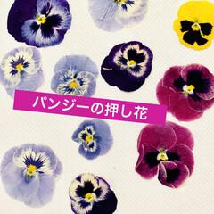 芝桜/ノースポール/パンジー/ビオラ/白菜の花/葉牡丹の花/... 今日は、 葉牡丹の花と庭に植えてる白菜の…(3枚目)