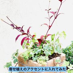 やっと見つけた/植物/苗木/アルナンテラレッドフラッシュ/アカバセンニチコウ 赤いセンニチコウ 👀み〜つけた🤣🤣🤣🙌🏻…(1枚目)