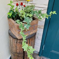 寄せ植え マリーゴールドが元気なくって、 数日前か…