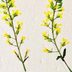 芝桜/ノースポール/パンジー/ビオラ/白菜の花/葉牡丹の花/... 今日は、 葉牡丹の花と庭に植えてる白菜の…(8枚目)