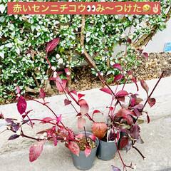 やっと見つけた/植物/苗木/アルナンテラレッドフラッシュ/アカバセンニチコウ 赤いセンニチコウ 👀み〜つけた🤣🤣🤣🙌🏻…(2枚目)