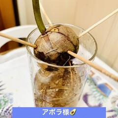 外科手術/インテリア/水栽培/アボガド/観葉植物/我が家の観葉植物 大事件です🚑🚑🚑💨  うちの1番株の🥑 …(3枚目)