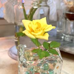 小薔薇 以前鉢植えで購入した黄色の小薔薇が 駄目…
