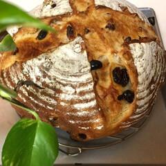 カンパーニュ/自家製天然酵母パン 自家製天然酵母パン レーズンと胡桃たっぷ…