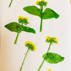 芝桜/ノースポール/パンジー/ビオラ/白菜の花/葉牡丹の花/... 今日は、 葉牡丹の花と庭に植えてる白菜の…(9枚目)