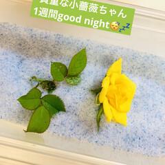 苗木🌱避難/シリカゲル/小薔薇 貴重な黄色小薔薇ちゃん シリカゲルで大事…