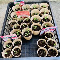 小分け植え 今日は、コスモス、スターチス、スイトピー…