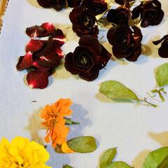 小薔薇🌹/シリカゲルドライフラワー 一週間シリカゲルに寝かせた小薔薇🌹です。…(2枚目)
