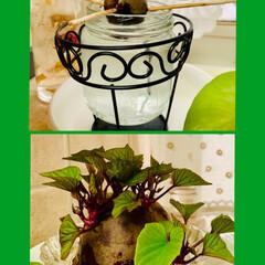 さつま芋🍠水栽培/アボガド水栽培/お家でもオシャレ アボガドとさつま芋🍠の 水栽培の途中経過…