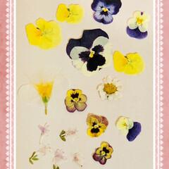 ノースポール/オキザリス/パンジー/ビオラ/押し花 🌸good morning🌸  押し花が…