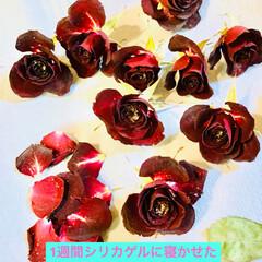小薔薇🌹/シリカゲルドライフラワー 一週間シリカゲルに寝かせた小薔薇🌹です。…(1枚目)