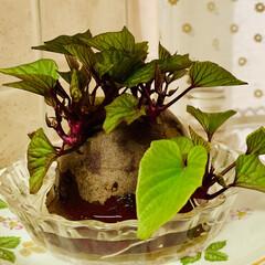さつま芋🍠水栽培/アボガド水栽培/お家でもオシャレ アボガドとさつま芋🍠の 水栽培の途中経過…(2枚目)