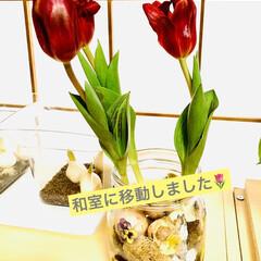 癒し/インテリア/鉢植えから水栽培へ/水栽培/チューリップ🌷/観葉植物 ミニチューリップ🌷ちゃん 鉢植えで買って…(3枚目)