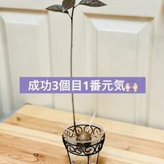 アボガド水栽培 🥑我が家のアボちゃん🥑  途中経過🌱  …(1枚目)