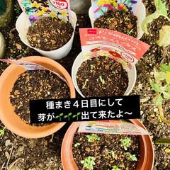 種まき 先日ダイソーさんでお花🌼🌸の種を購入して…(4枚目)