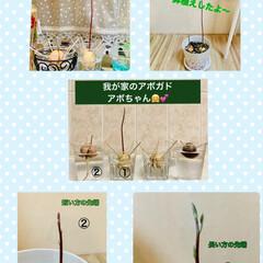 鉢植え替え/アボガド水栽培 我が家のアボちゃん🥑🥑 6月に初投稿のア…