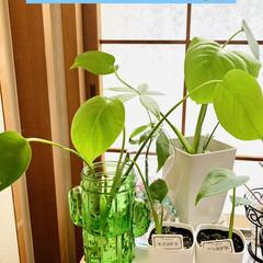 モンステラ/エアプランツ/アボガド水栽培/ダイソー/観葉植物 ダイソーさんでワイヤー歯ブラシ立てと ず…(6枚目)