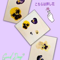 押し花/パンジー&ビオラ 忘れてたわ😳💦  その前に、押し花もして…