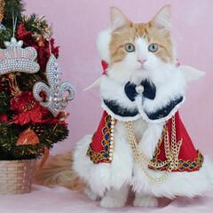 #クリスマス/オスカー様としもべ達/メインクーン/ペット クリスマスに天使降臨