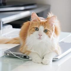 猫/ねこ/転送/ペット はて?何か?? キョトン顔でパソコンにい…(1枚目)