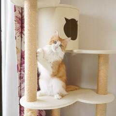 メインクーン/キャットタワー/オスカー様としもべ達/オスカー様/可愛い/美猫/... キャットタワーでハイ!ポーズ!
